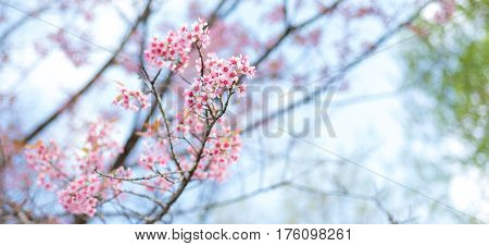 Cherry blossoms or Sakura flower in national park chiang mai Thailand