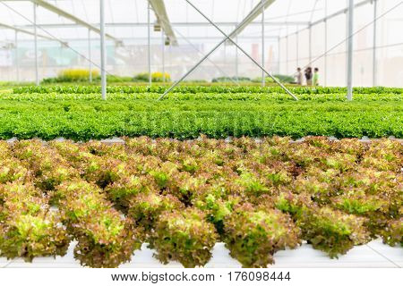 Lettuce Salad Plant In Hydroponic System In Greenhouse