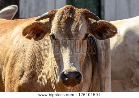 Close Up On The Head Of An Ox In A Frontal View