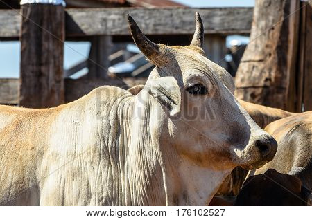 Side Of An Ox With Horns In The Corral Of The Farm