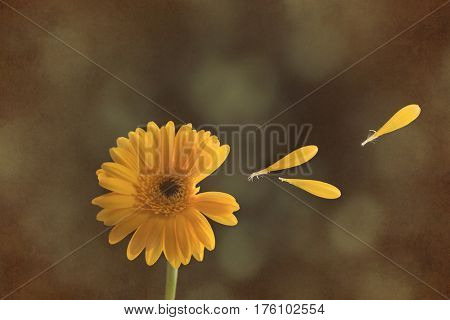 Yellow Gerbera flower head with floating petals