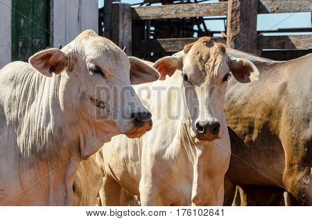 White Cows In A Corral