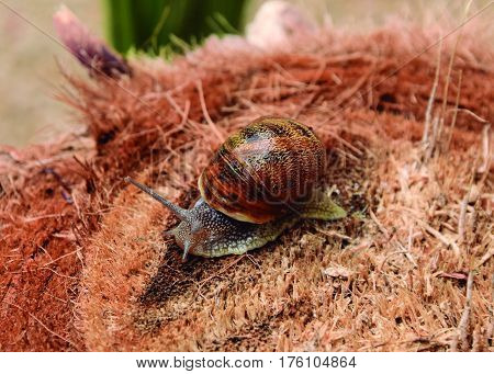 Snail released. Snail moving out of its shell.