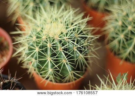 Globular cactus with sharp thorns looked beautiful.