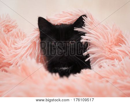 Little black funny kitten. The cat hid under the pink blanket