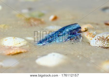 Broken piece of Abalone stuck in the sand with other miscellaneous seashells.