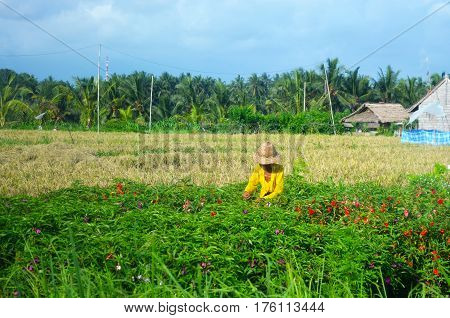 Man woman harvesting in a tropical plantation of rice or flowers.