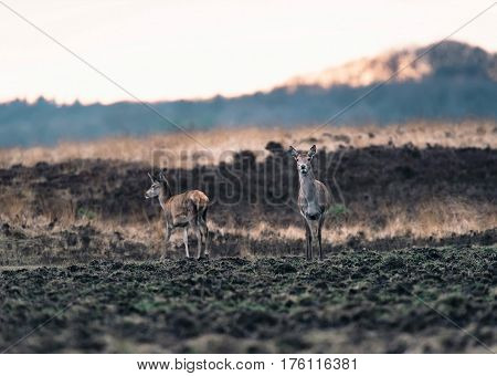 Two Red Deer Doe In Moorland At Sunset. National Park Hoge Veluwe.