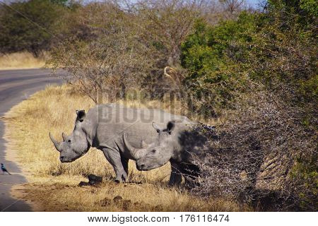 two rhinos look from behind a african bush on the side on a road in Kruger Park in South Africa