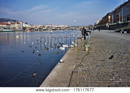 Prague Czech Republic-March 13 2017: The right bank of the Vltava River with a flock of seagulls pigeons and swans on the horizon Prague Castle