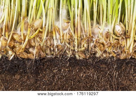 Sprouted wheat, root and ground closeup