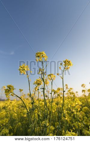 Closeup of Field of Yellow Flowers in Spring