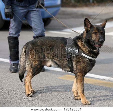 German Shepherd Police Dog While Patrolling The City Streets
