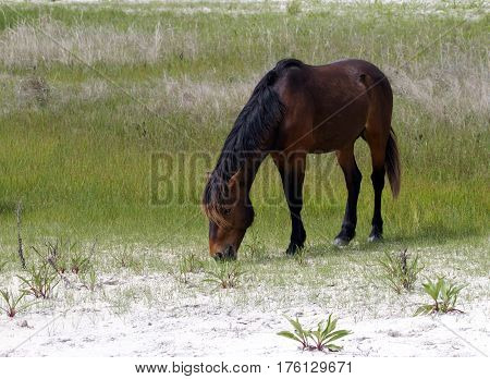 Wild horse stallion grazing on Assateague Island Park, MD