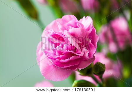 Close-up view of pink and bright  carnations