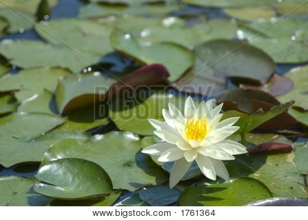 White Water Lily With Green Leaves