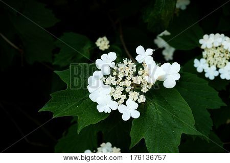 White spring flowers on a decorative tree among foliage