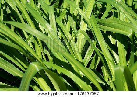 The Green long leaves of ornamental plants