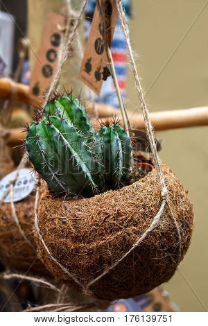 Green single cactus in coconut flower pot on the Amsterdam street outdoor market