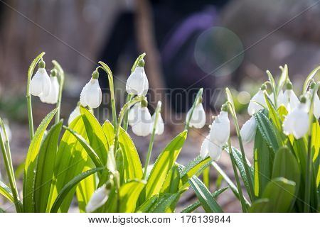 Snowdrop Folded With Water Drops