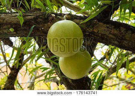 Fresh Crescentia cujete on Calabash Tree in the garden