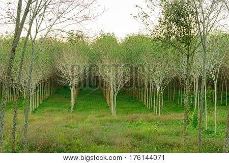forest of rubber trees at Phuket Thailand