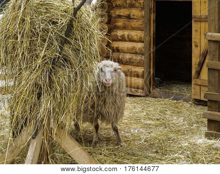 Sheep in a corral near haystack standing and looking at you. Winter, snow. Barn door is open