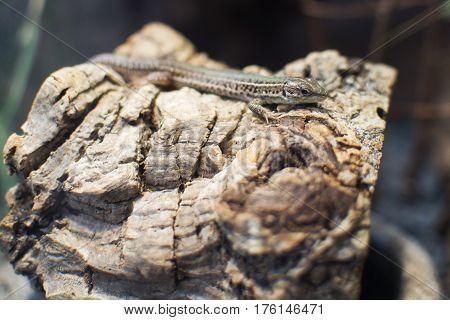 Close Up On Podarcis Tauricus (crimean Wall Lizard)
