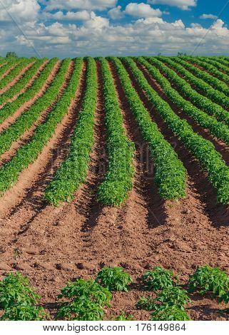 Potato field in rural Prince Edward Island, Canada.