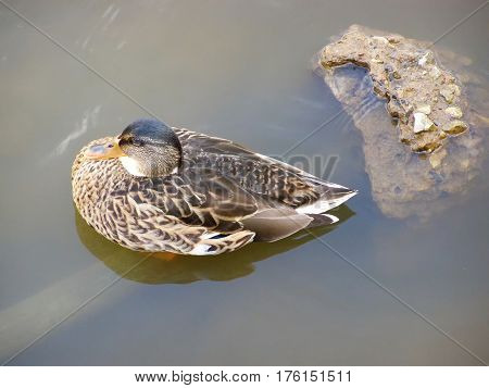 Duck sitting in the water top view