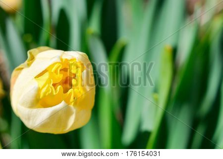 A burgeoning bud of a yellow narcissus flower against a background of green leaves.