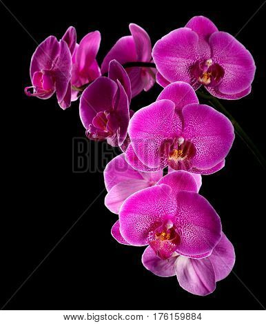 Violet orchid  close up on a black background