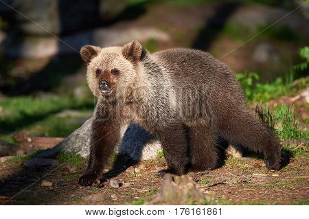 Cute young brown bear walking in the finnish taiga