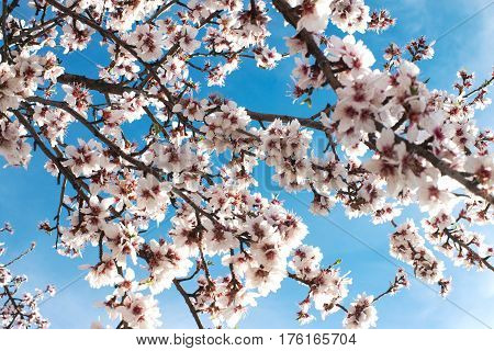 Pretty pink almond blossom shot from below looking though to a summer blue sky Ideal for a background