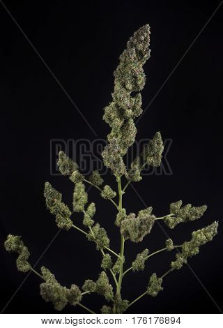 Trimmed cannabis plant (green crack marijuana strain) with late flowers ready to harvest - isolated over black background