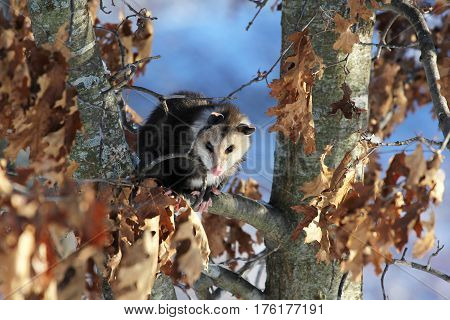 A cute young nocturnal marsupial Opossum is sitting in an Oak Tree in the winter looking at the camera.