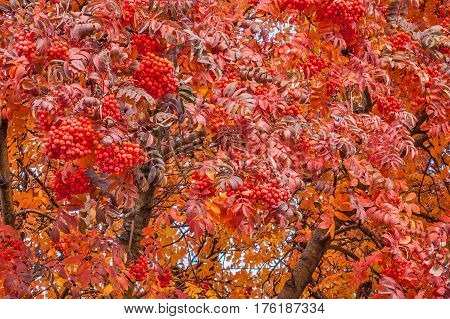 Brilliant vibrant colors on an American Mountain Ash tree in autumn