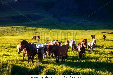Icelandic pony grazing in the pasture that is illuminated by the sun. Picturesque and gorgeous scene. Location place Iceland island, Snaefellsnes peninsula, Europe. Discover the world of beauty.