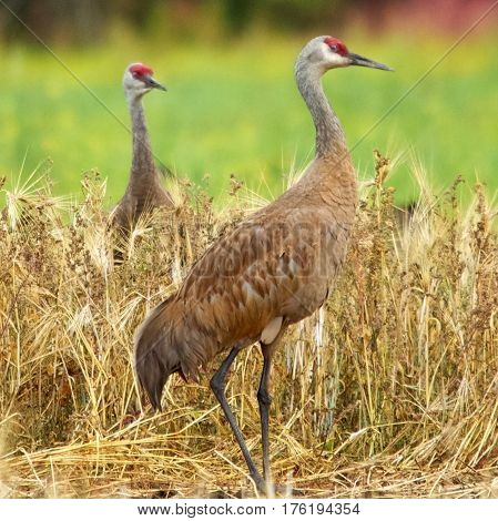 Sandhill Cranes in a field in Fairbanks, Alaska