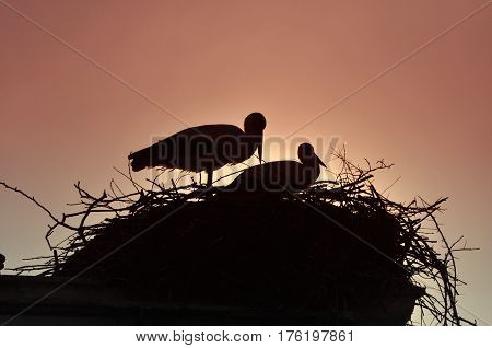 Silhouette of white storks in nest. Springtime is time for love of storks.