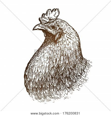 Hand drawn portrait of chicken. Poultry farm, animal, domestic fowl sketch. Vintage vector illustration isolated on white background