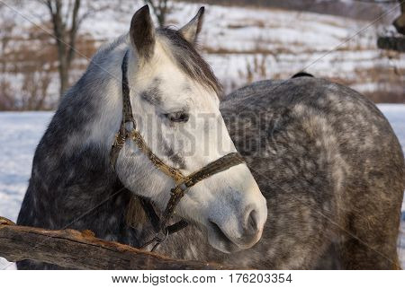 Portrait of dappled mare at sunny winter day.