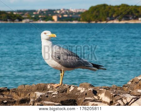 Seagull Sitting on the Rock, Istria, Croatia
