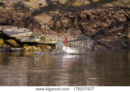 Image of a pet white goose paws in the top on a pond