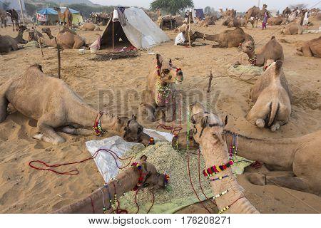 PUSHKAR INDIA-OCT 30 : morning feed of camel herd in desert camp in Pushkar on october30 2014