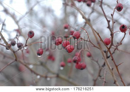 Several hawthorn berries in winter against the backdrop of the rest of the bush.