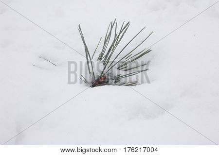 A very small twig of pine lies in the snow.