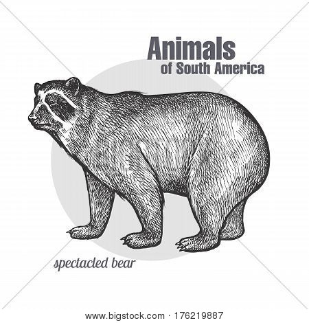 Spectacled Bear hand drawing. Animals of South America series. Vintage engraving style. Vector illustration art. Black and white. Object of nature naturalistic sketch.