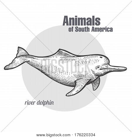 River dolphin hand drawing. Animals of South America series. Vintage engraving style. Vector illustration art. Black and white. Object of nature naturalistic sketch.
