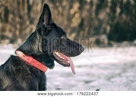 Profile Portrait Of Belgian Shepherd Groenendael Against Winter Forest